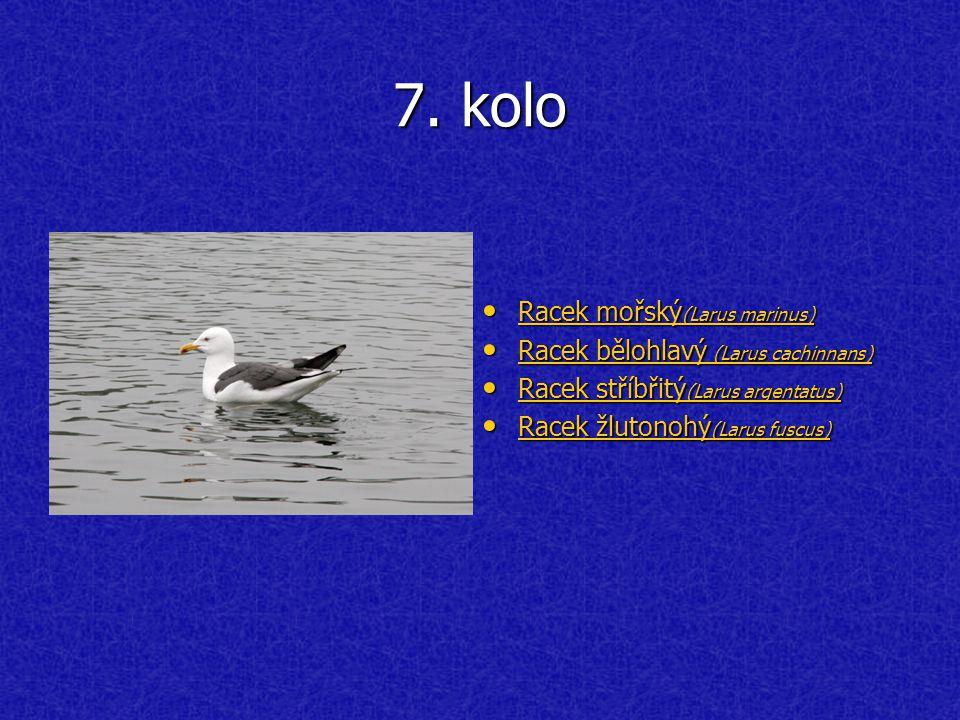 7. kolo Racek mořský (Larus marinus) Racek mořský (Larus marinus) Racek mořský (Larus marinus) Racek mořský (Larus marinus) Racek bělohlavý (Larus cac
