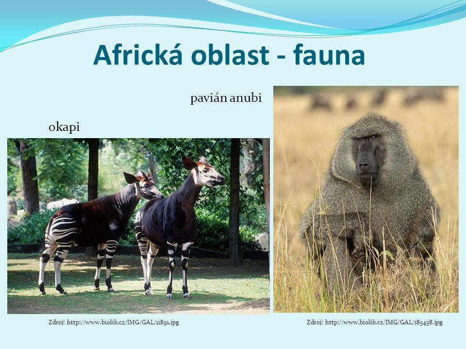 Africká oblast - fauna okapi Zdroj: http://www.biolib.cz/IMG/GAL/11891.jpg pavián anubi Zdroj: http://www.biolib.cz/IMG/GAL/185438.jpg