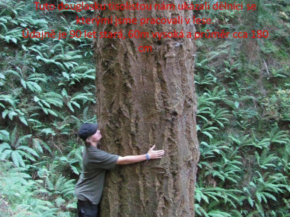 Tuto douglasku tisolistou nám ukázali dělníci se kterými jsme pracovali v lese. Údajně je 90 let stará, 60m vysoká a průměr cca 180 cm