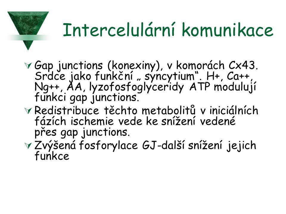 """Intercelulární komunikace  Gap junctions (konexiny), v komorách Cx43. Srdce jako funkční """" syncytium"""". H+, Ca++, Ng++, AA, lyzofosfoglyceridy ATP mod"""