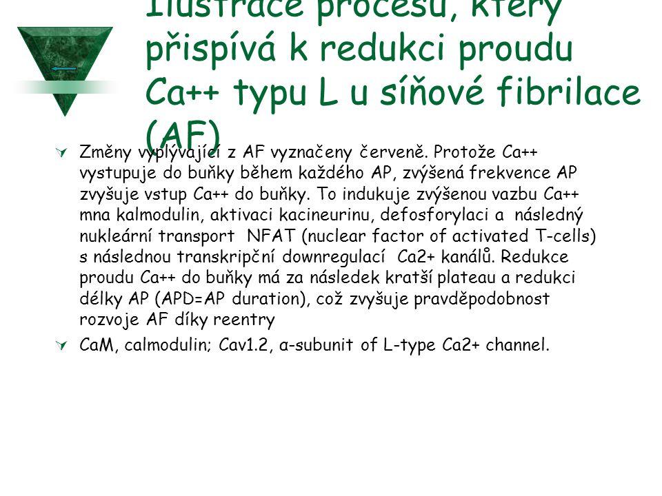 Ilustrace procesu, který přispívá k redukci proudu Ca++ typu L u síňové fibrilace (AF)  Změny vyplývající z AF vyznačeny červeně. Protože Ca++ vystup