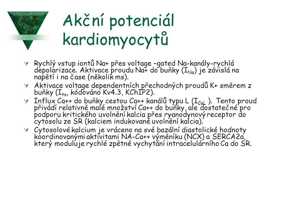 Klidový membránový potenciál v podmínkách ischémie  Rychlá depolarizace klidového potenciálu (již v prvních 2 minutách): to je způsobeno rychlou redistribujcí K+ z intracelulárního do extracelulárního prostoru v důsledku  otevření vnějšího ATP senzitivního K+ proudu (K-ATP)  inhibice Na/K ATPázové aktivity  intracelulární ztráty draslíku v důsledku anaerobní glykolýzy a intracelulární acidifikace.