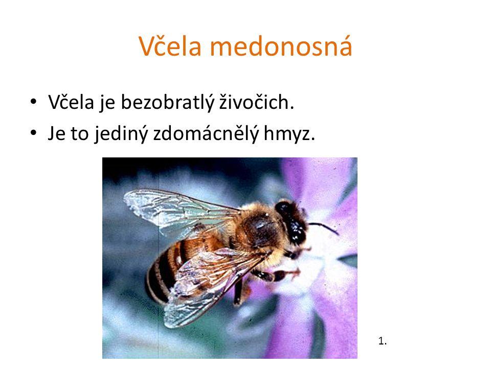 Včela medonosná Včela je bezobratlý živočich. Je to jediný zdomácnělý hmyz. 1.
