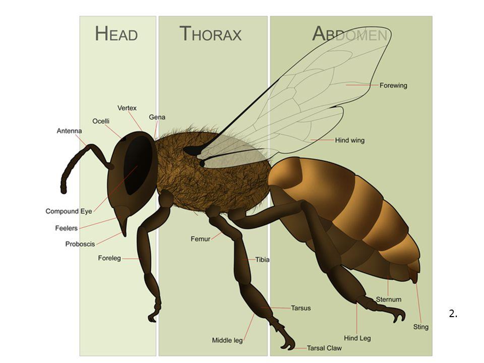 Život včel Žijí společensky, nejsou schopné žít samy.