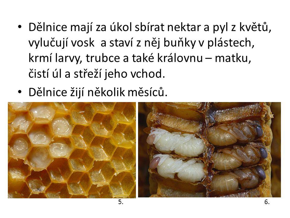 Trubci Trubec je samec včely.