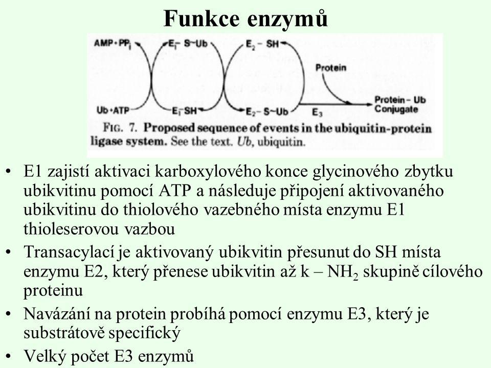 Funkce enzymů E1 zajistí aktivaci karboxylového konce glycinového zbytku ubikvitinu pomocí ATP a následuje připojení aktivovaného ubikvitinu do thiolo