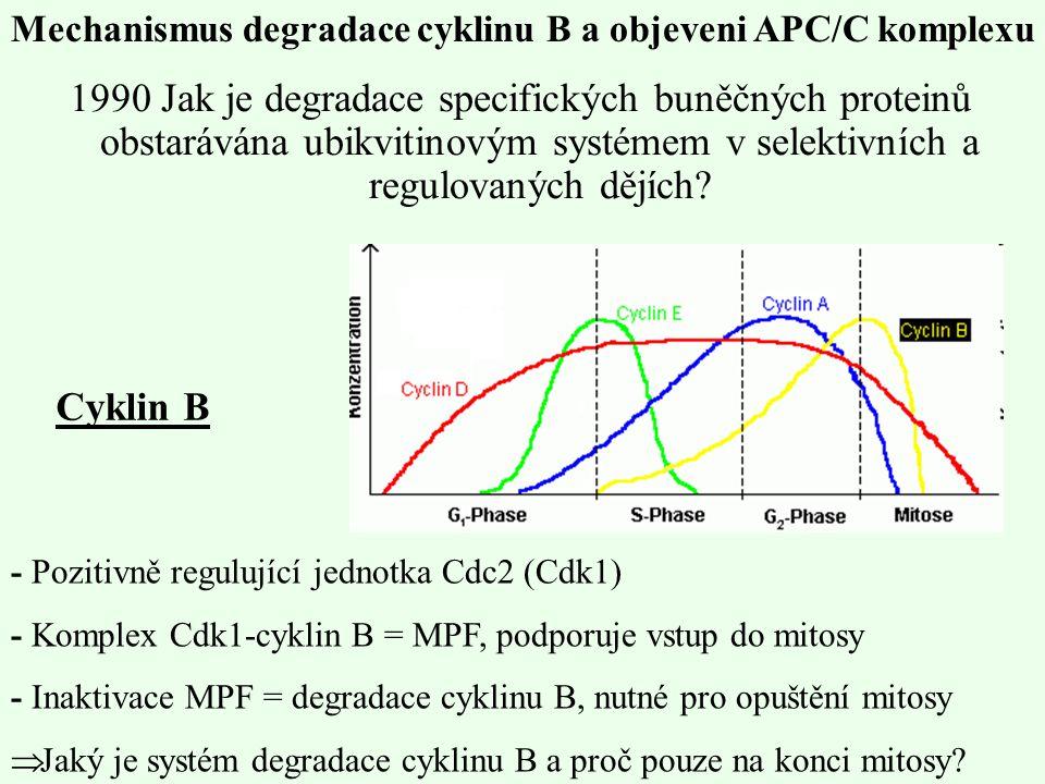1990 Jak je degradace specifických buněčných proteinů obstarávána ubikvitinovým systémem v selektivních a regulovaných dějích? - Pozitivně regulující