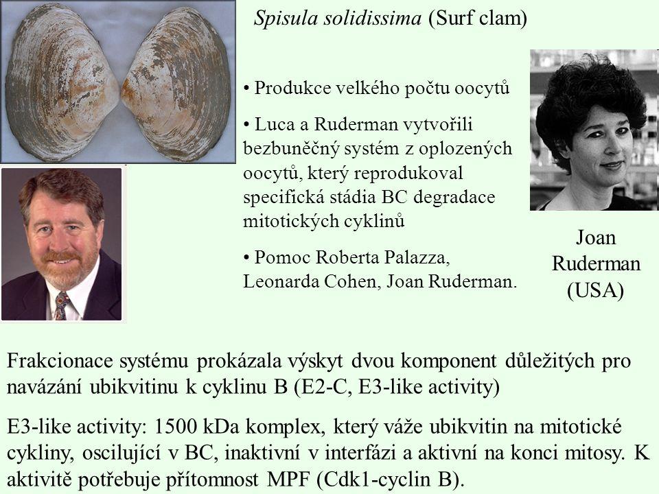 Spisula solidissima (Surf clam) Produkce velkého počtu oocytů Luca a Ruderman vytvořili bezbuněčný systém z oplozených oocytů, který reprodukoval spec