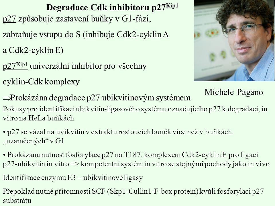 Degradace Cdk inhibitoru p27 Kip1 p27 způsobuje zastavení buňky v G1-fázi, zabraňuje vstupu do S (inhibuje Cdk2-cyklin A a Cdk2-cyklin E) p27 Kip1 uni