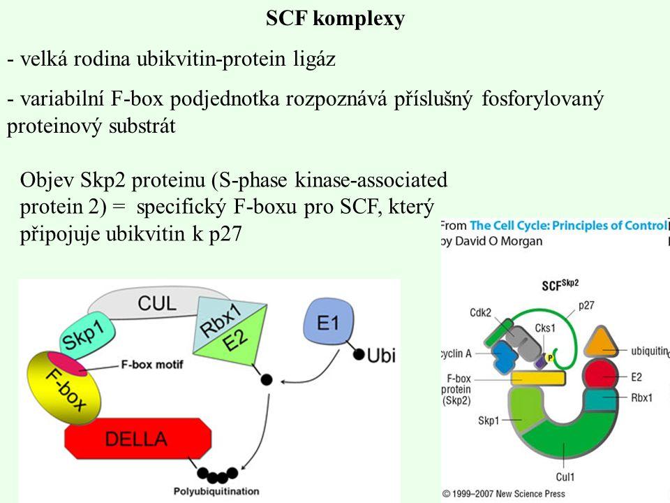 SCF komplexy - velká rodina ubikvitin-protein ligáz - variabilní F-box podjednotka rozpoznává příslušný fosforylovaný proteinový substrát Objev Skp2 p