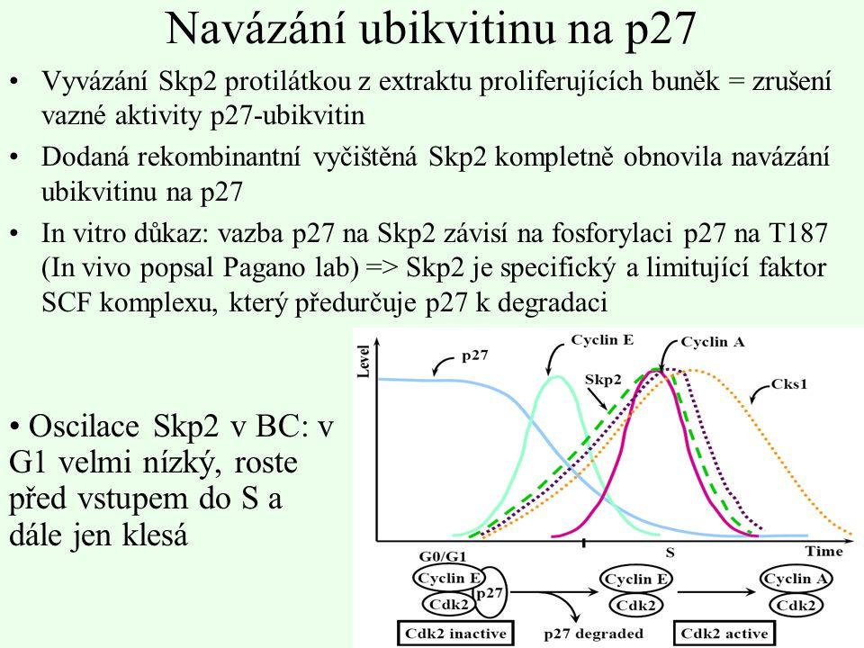 Navázání ubikvitinu na p27 Vyvázání Skp2 protilátkou z extraktu proliferujících buněk = zrušení vazné aktivity p27-ubikvitin Dodaná rekombinantní vyči