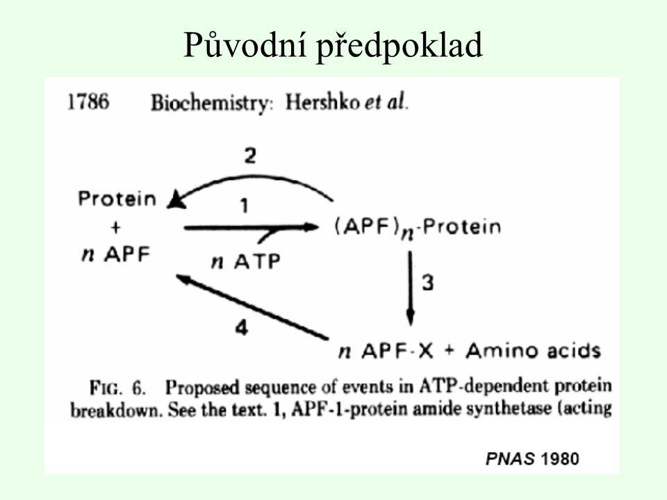 Jak je ubikvitin navázán na proteiny.