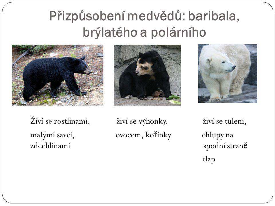 Přizpůsobení medvědů: baribala, brýlatého a polárního Živí se rostlinami, živí se výhonky, živí se tuleni, malými savci, ovocem, ko ř ínky chlupy na z