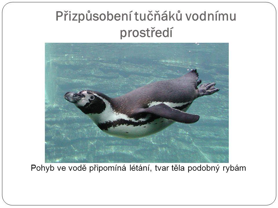 Přizpůsobení tučňáků vodnímu prostředí Pohyb ve vodě připomíná létání, tvar těla podobný rybám