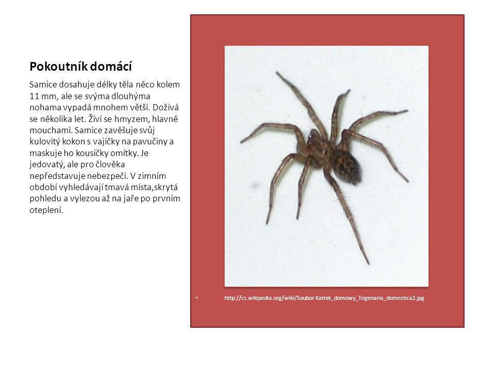 Pokoutník domácí http://cs.wikipedia.org/wiki/Soubor:Katnik_domowy_Tegenaria_domestica2.jpg Samice dosahuje délky těla něco kolem 11 mm, ale se svýma dlouhýma nohama vypadá mnohem větší.