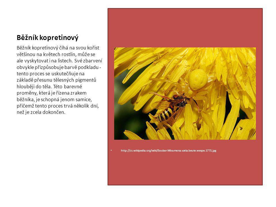 Běžník kopretinový http://cs.wikipedia.org/wiki/Soubor:Misumena.vatia.beute.wespe.1771.jpg Běžník kopretinový číhá na svou kořist většinou na květech rostlin, může se ale vyskytovat i na listech.