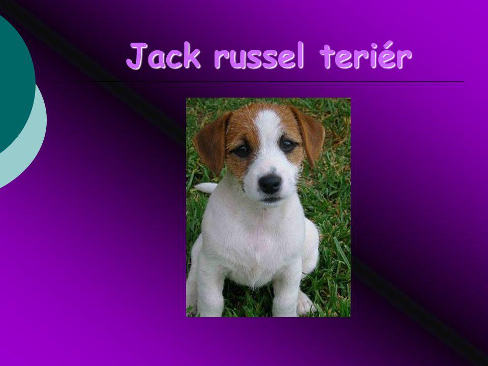 Jack russel teriér