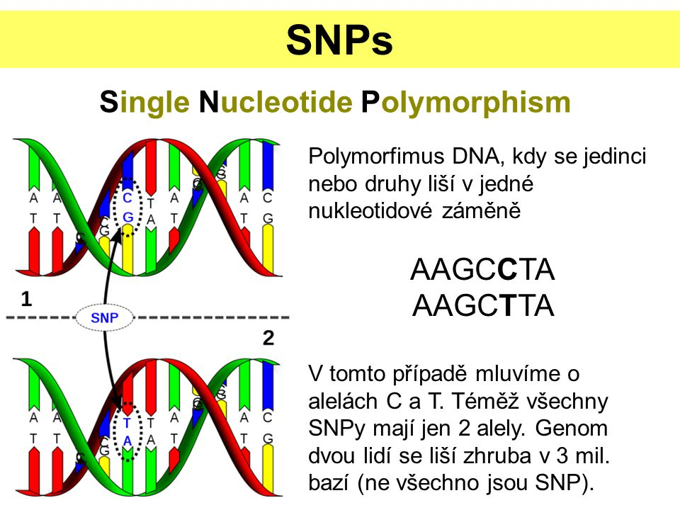 SNP DETEKCE – SSCP + + + _ _ _ denaturacePCRrenaturace vertikální elektroforéza vizualizace Single-Strand Conformation Polymorphism