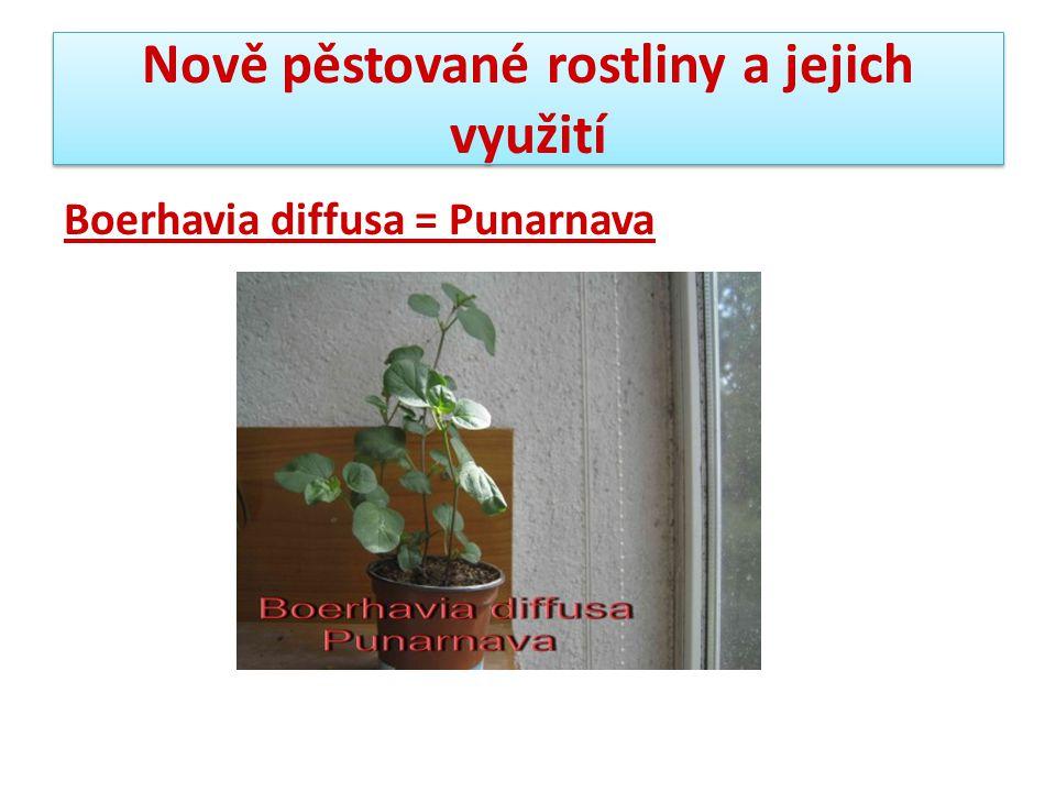 Nově pěstované rostliny a jejich využití Boerhavia diffusa = Punarnava