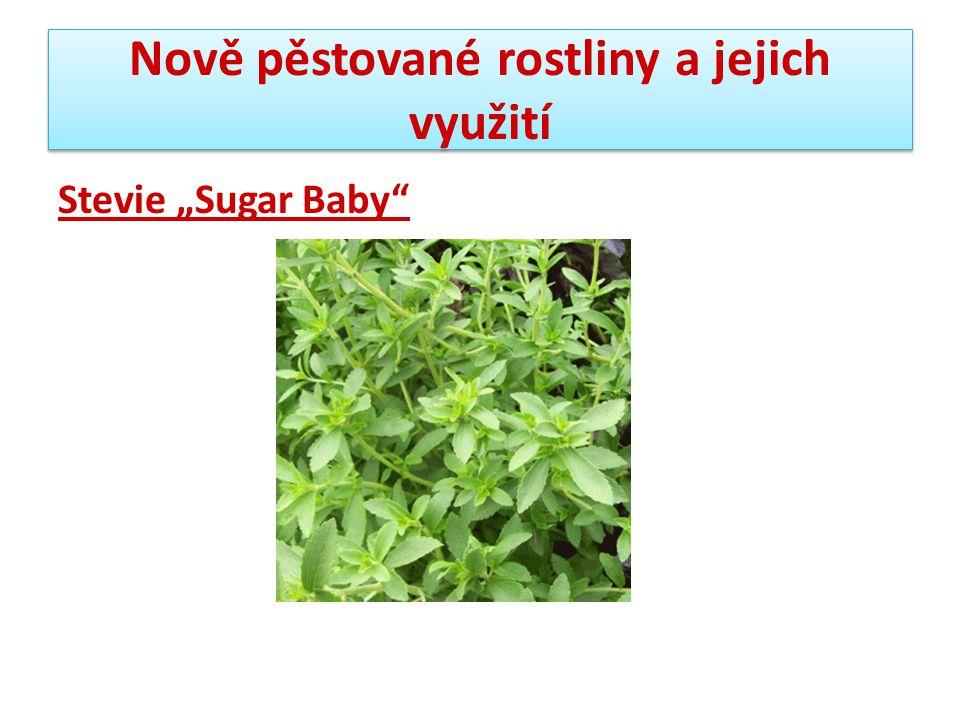 """Nově pěstované rostliny a jejich využití Stevie """"Sugar Baby"""""""