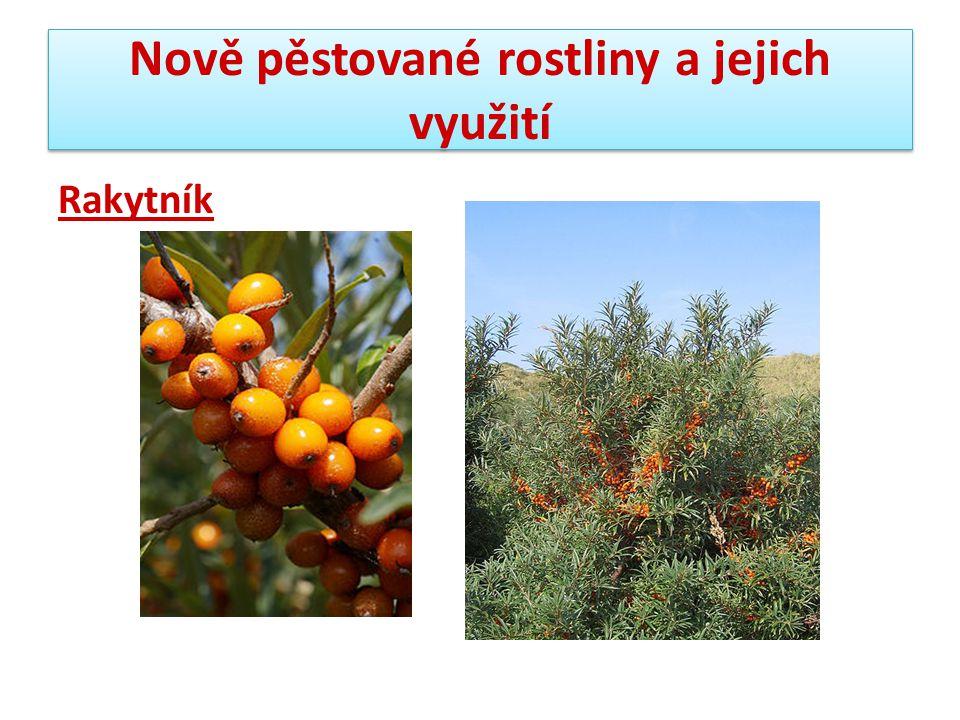 Nově pěstované rostliny a jejich využití Rakytník