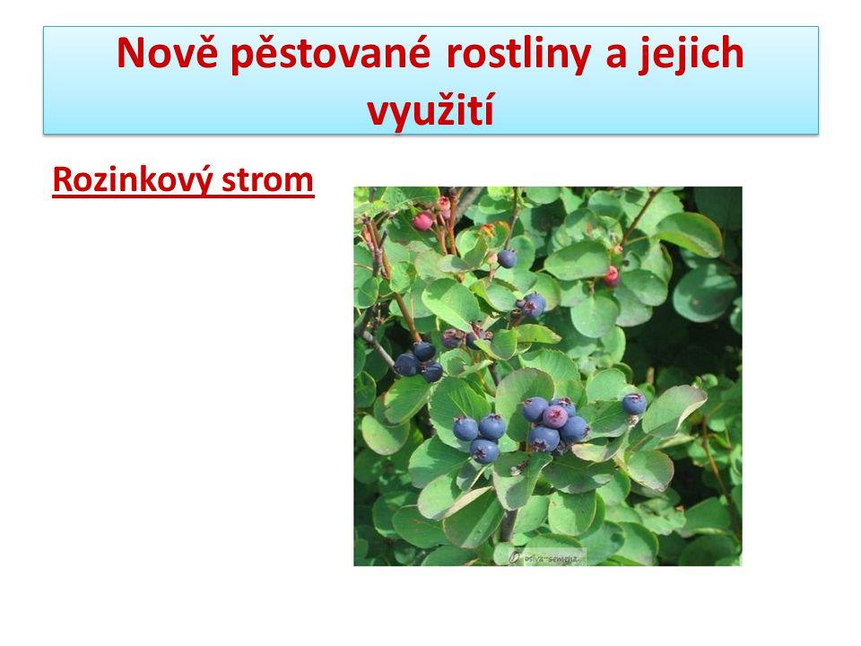 Nově pěstované rostliny a jejich využití Rozinkový strom