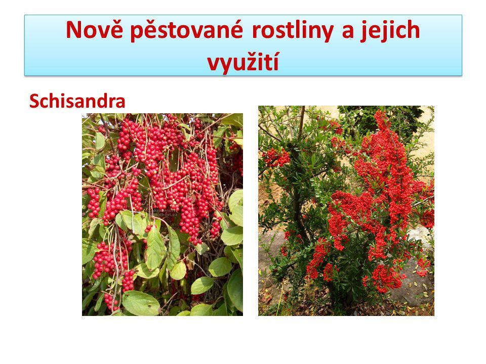 Nově pěstované rostliny a jejich využití Schisandra