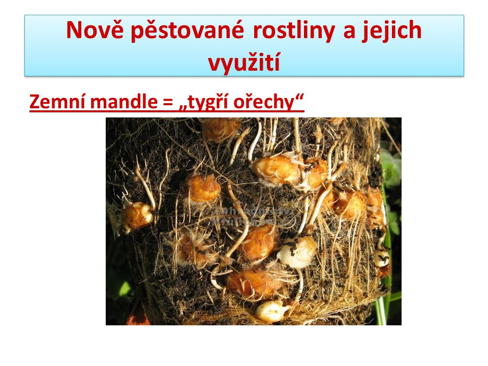 """Nově pěstované rostliny a jejich využití Zemní mandle = """"tygří ořechy"""""""