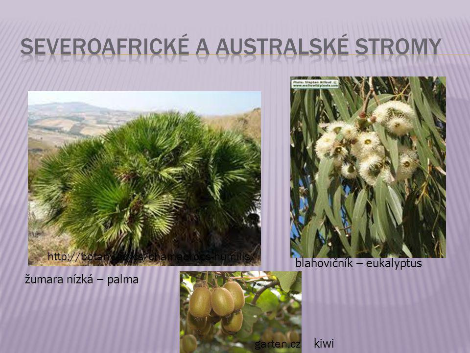 žumara nízká – palma http://botany.cz/cs/chamaerops-humilis/ blahovičník – eukalyptus kiwi garten.cz