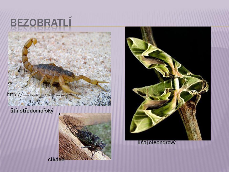 štír středomořský http:// www.biolib.cz/cz/taxonimage/id26941 / lišaj oleandrový cikáda