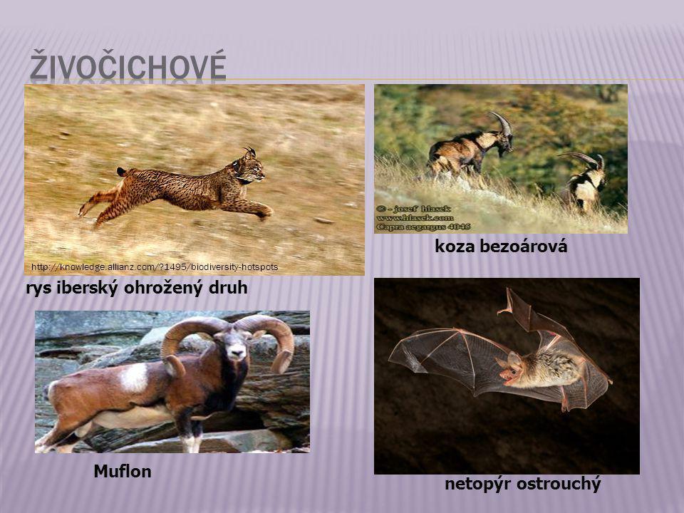 rys iberský ohrožený druh http://knowledge.allianz.com/?1495/biodiversity-hotspots koza bezoárová Muflon netopýr ostrouchý