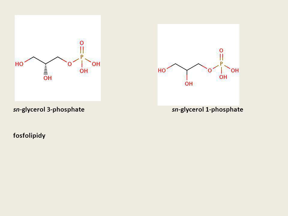 sn-glycerol 3-phosphate fosfolipidy sn-glycerol 1-phosphate