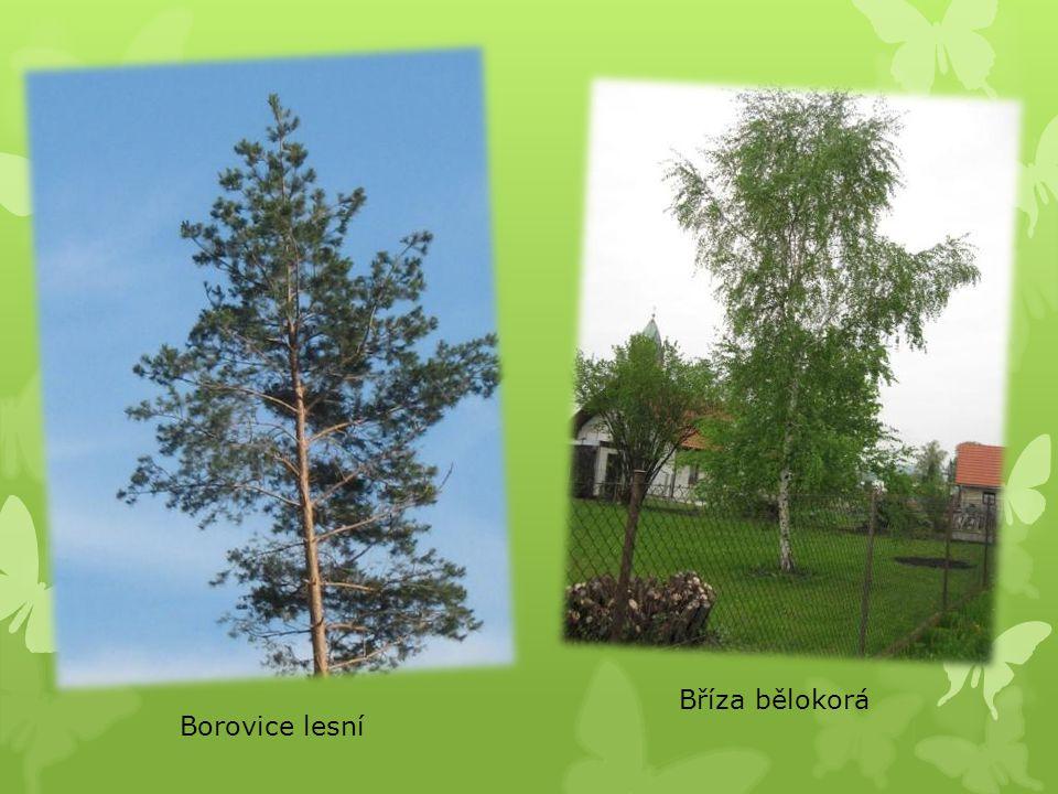 Borovice lesní Bříza bělokorá