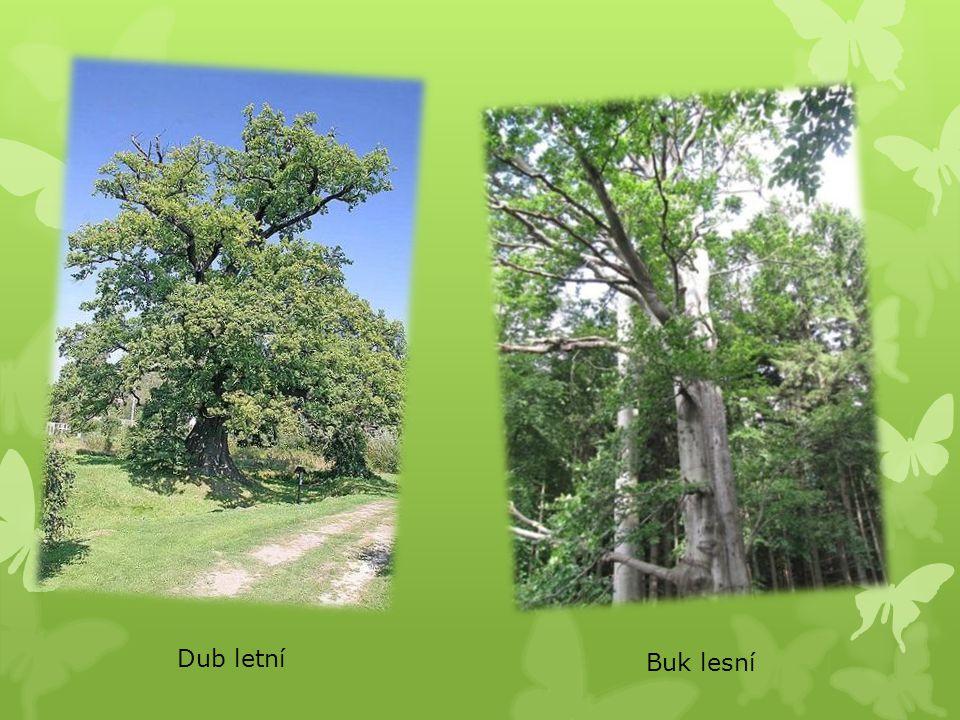 Dub letní Buk lesní
