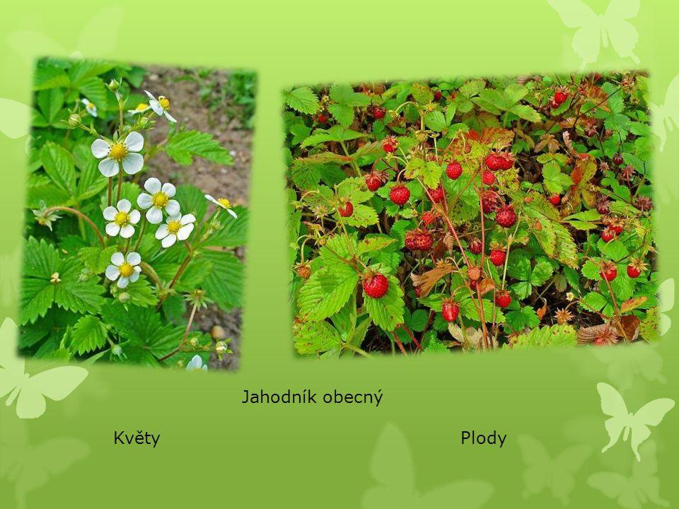 Jahodník obecný KvětyPlody