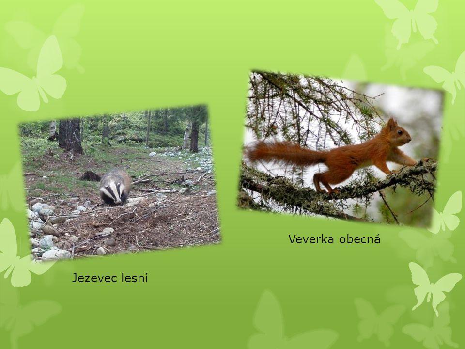 Jezevec lesní Veverka obecná
