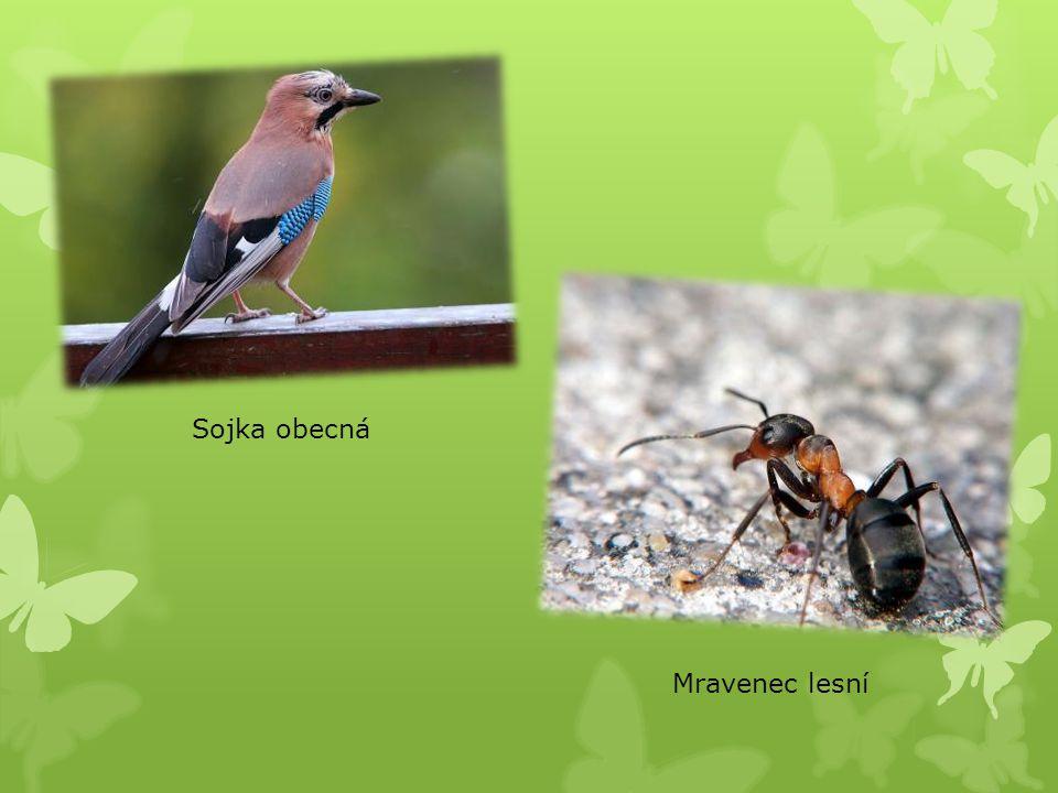 Sojka obecná Mravenec lesní
