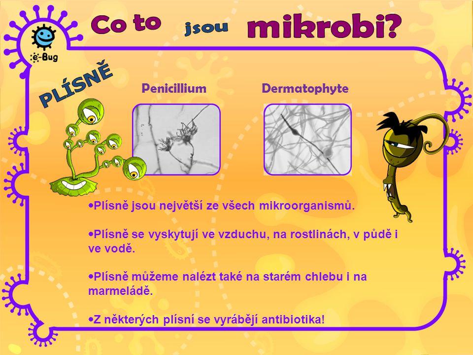 PenicilliumDermatophyte  Plísně jsou největší ze všech mikroorganismů.  Plísně se vyskytují ve vzduchu, na rostlinách, v půdě i ve vodě.  Plísně mů