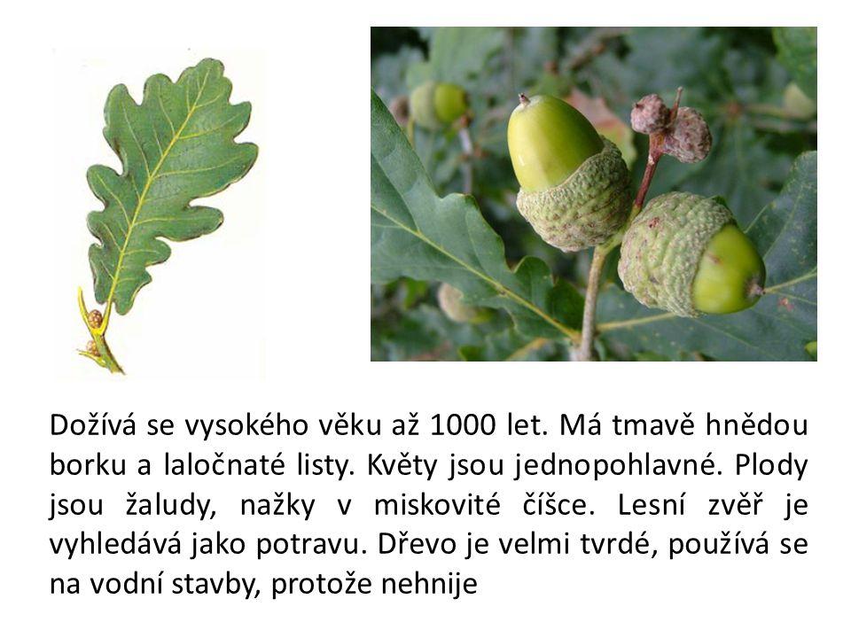 Je naším národním stromem.Borka je hladká, šedá. Listy mají srdčitou čepel.