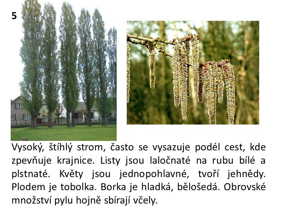 Vysoký, štíhlý strom, často se vysazuje podél cest, kde zpevňuje krajnice. Listy jsou laločnaté na rubu bílé a plstnaté. Květy jsou jednopohlavné, tvo