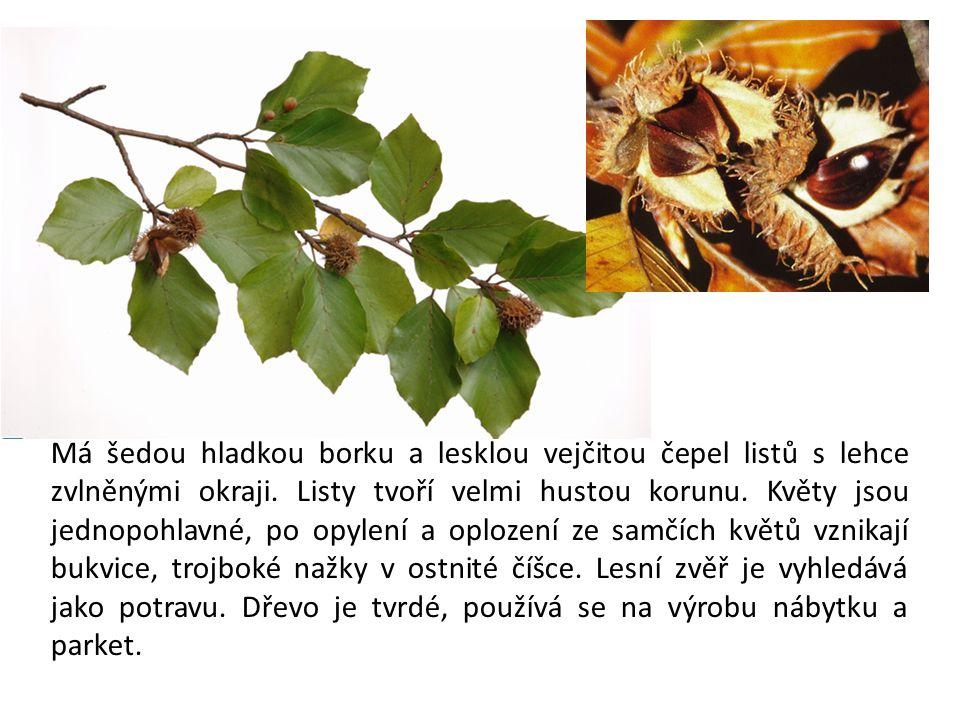 Vyskytuje se v lesích nižších poloh.Strom s hladkou tmavošedou borkou.