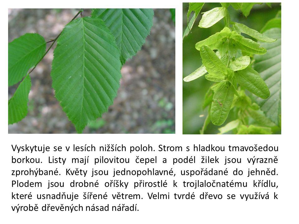 Jednodomý strom, jenž kvete obvykle v březnu.