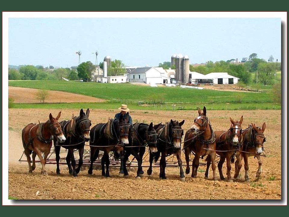 U Amish je kůň společníkem uctívaným a naprosto nepostradatelným. Ovšem, že bývají k pousmání, když je vidíte cestovat s jejich kárami a koněm, tak ne
