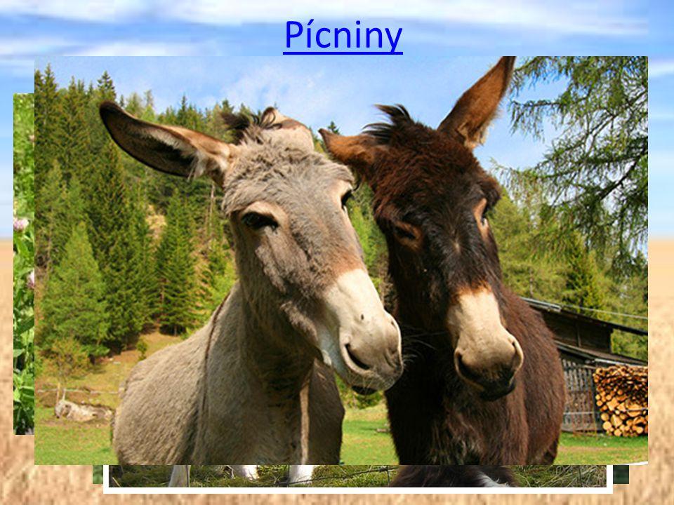 Pícniny Pícniny jsou plodiny sloužící k výživě hospodářských zvířat, zejména přežvýkavců a koní.
