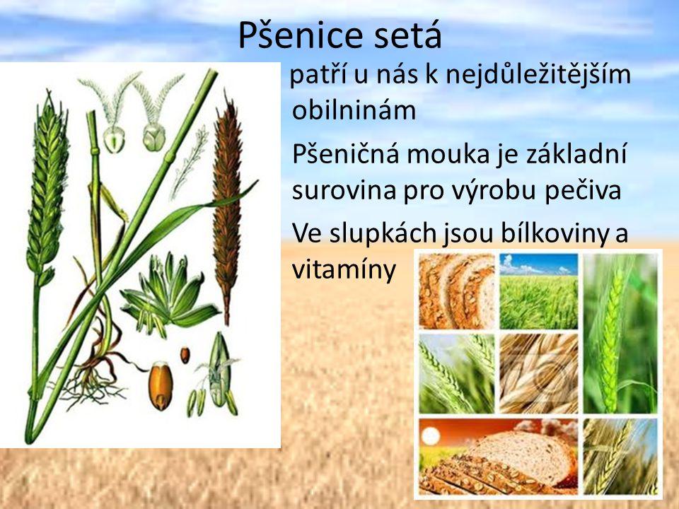 Pšenice setá P patří u nás k nejdůležitějším obilninám Pšeničná mouka je základní surovina pro výrobu pečiva Ve slupkách jsou bílkoviny a vitamíny