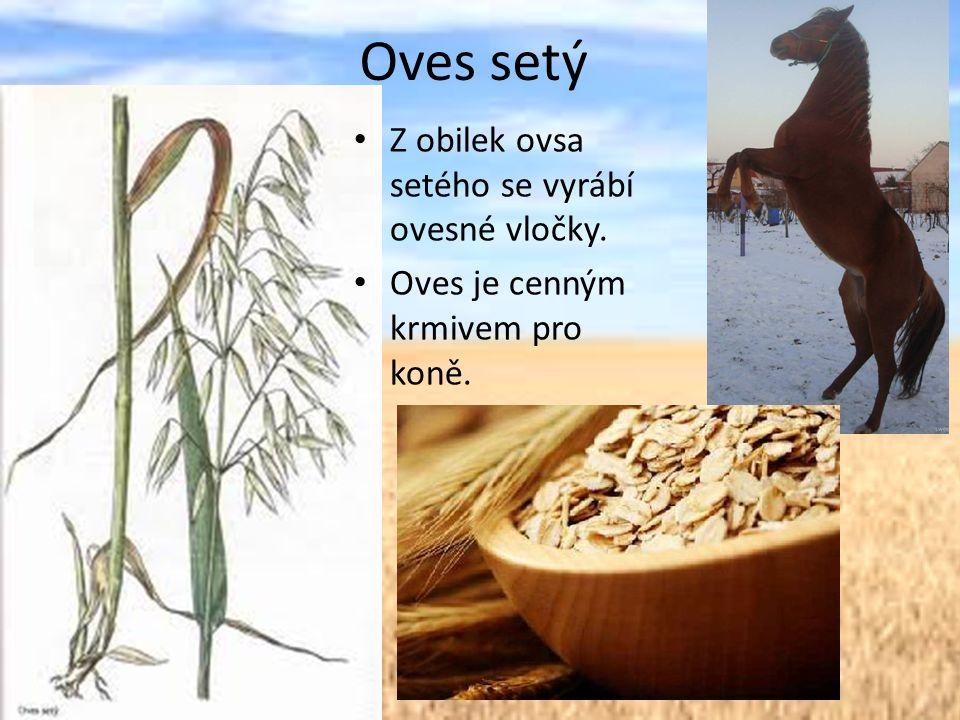 Oves setý Z obilek ovsa setého se vyrábí ovesné vločky. Oves je cenným krmivem pro koně.