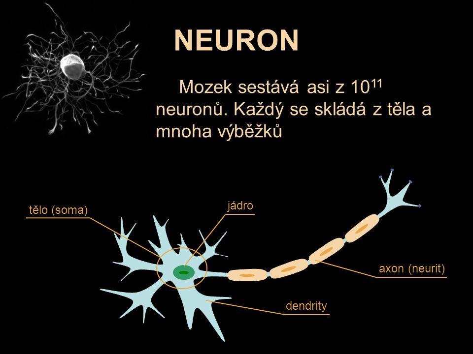 Mozek sestává asi z 10 11 neuronů. Každý se skládá z těla a mnoha výběžků axon (neurit) jádro tělo (soma) dendrity NEURON
