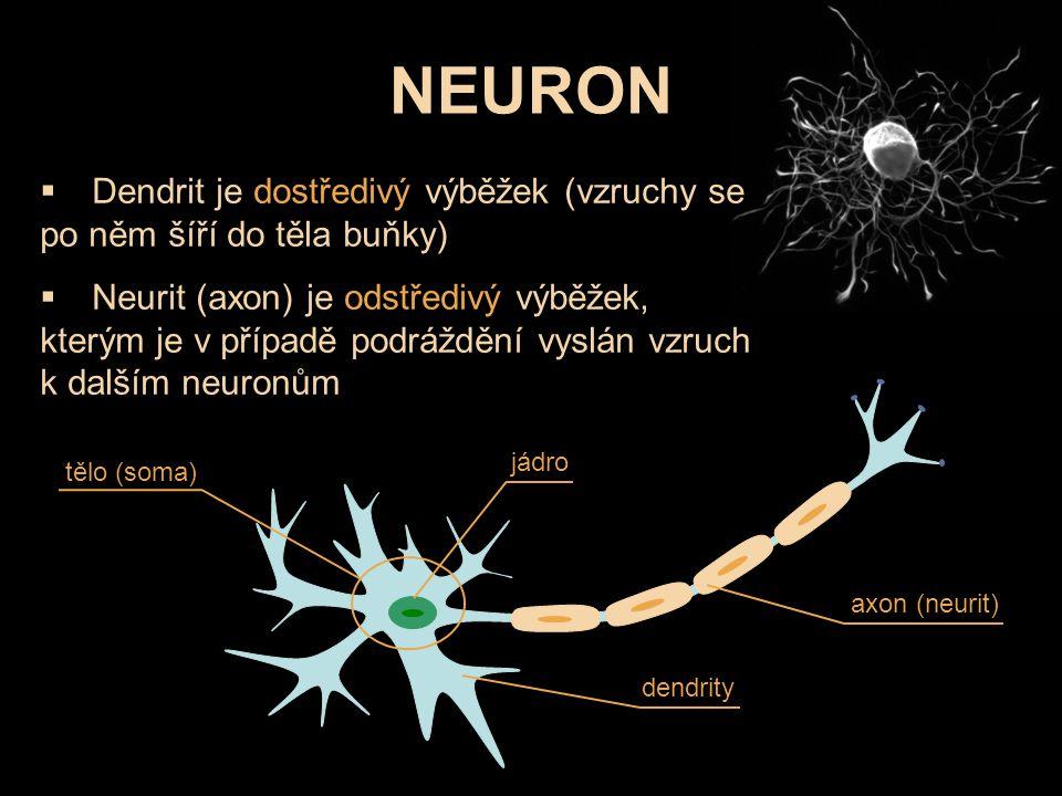  Dendrit je dostředivý výběžek (vzruchy se po něm šíří do těla buňky)  Neurit (axon) je odstředivý výběžek, kterým je v případě podráždění vyslán vz