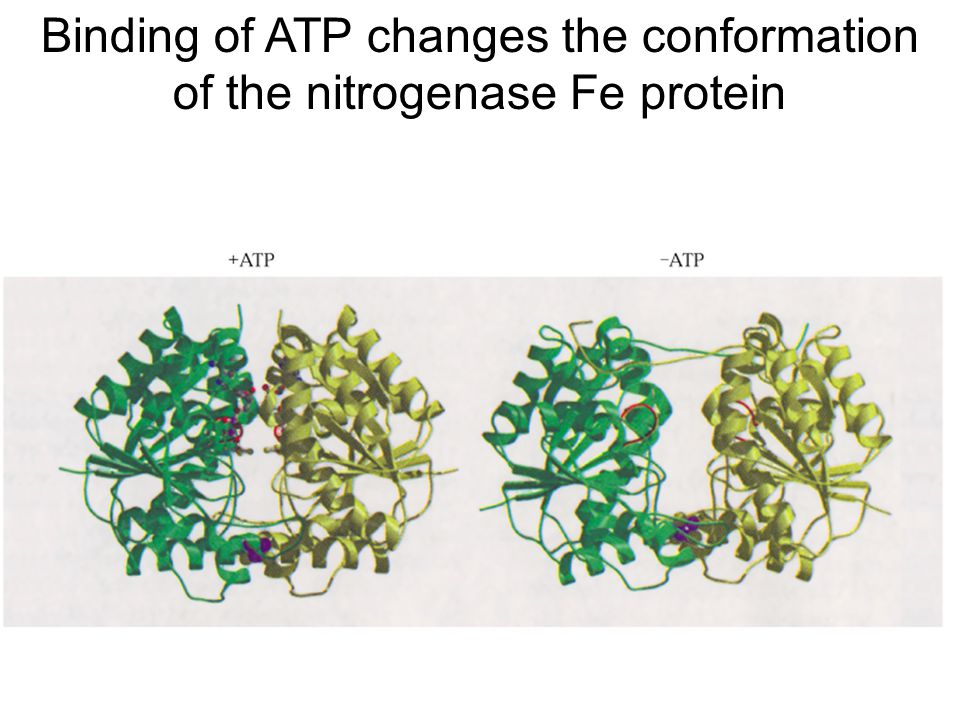 Binding of ATP changes the conformation of the nitrogenase Fe protein