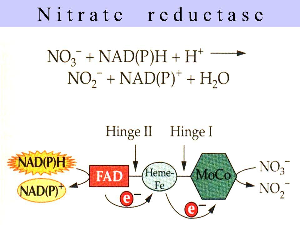 FAD HEME MoCo NADPH + H+ NITRATE